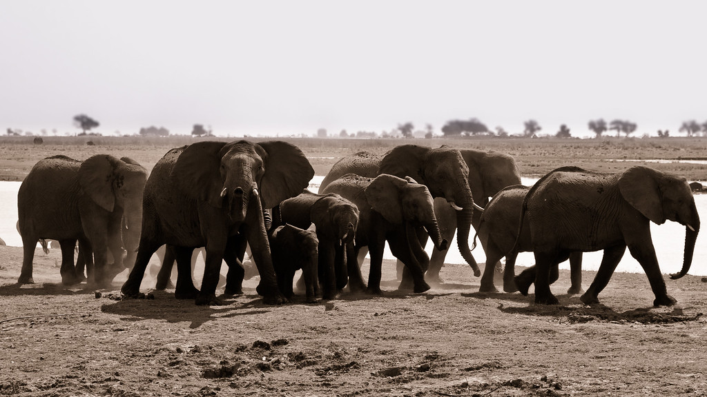 Chobe Park Elephant Herd