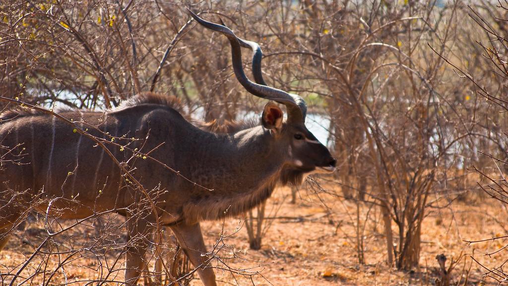 Chobe Park Male Kudu