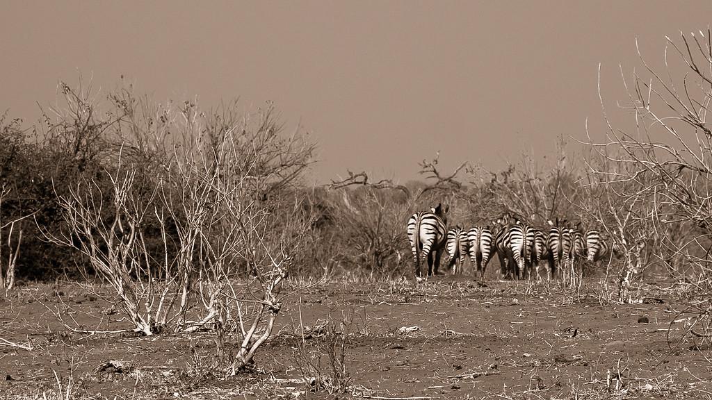 Chobe Park Zebras