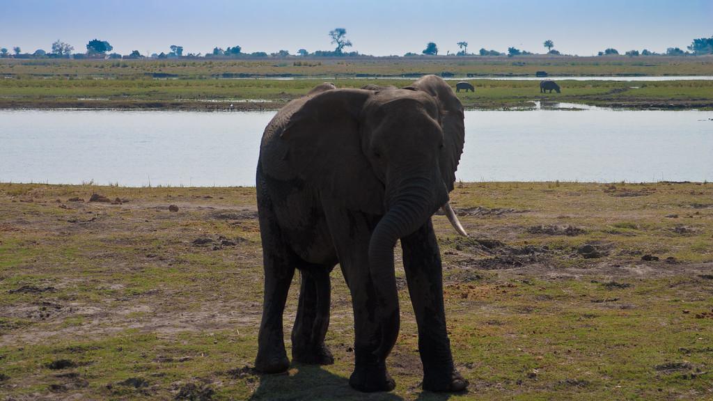 Chobe Park Elephants