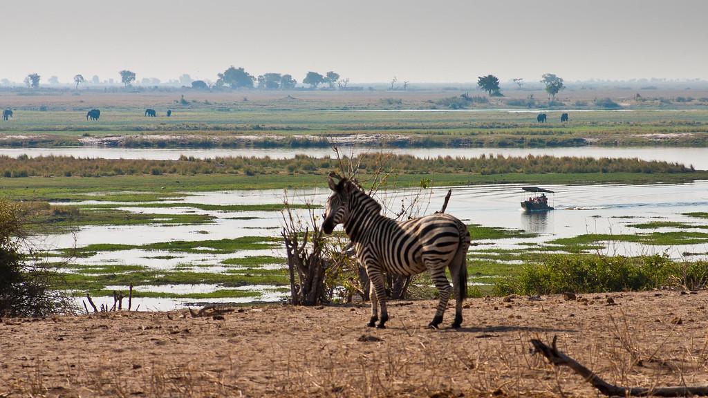 Chobe Park Zebra