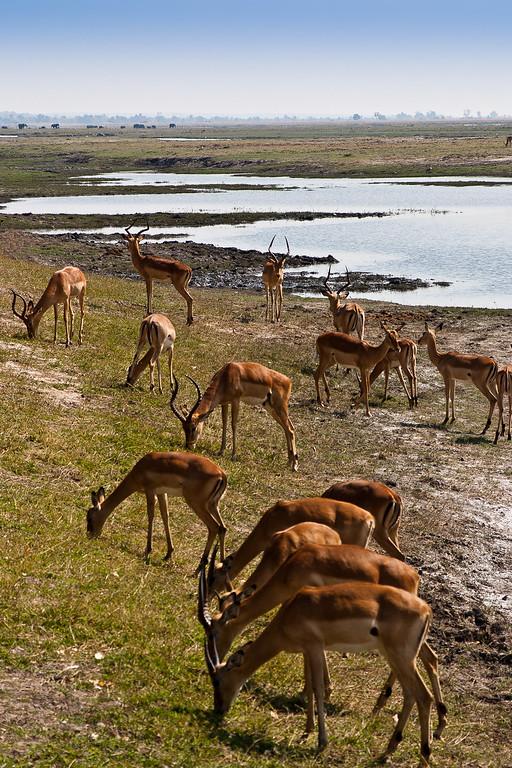 Chobe Park Safari Springbok
