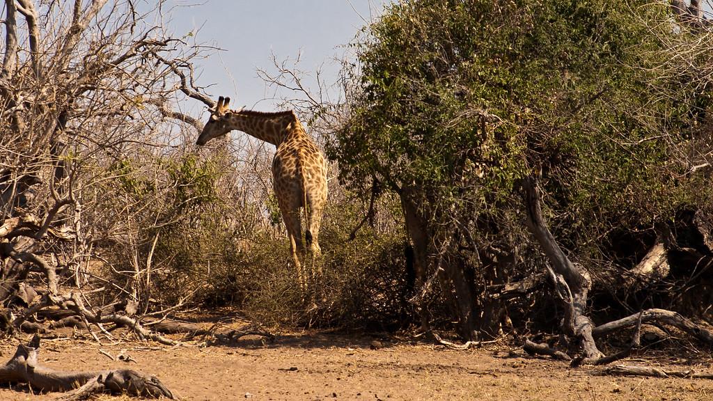 Chobe Park Giraffe