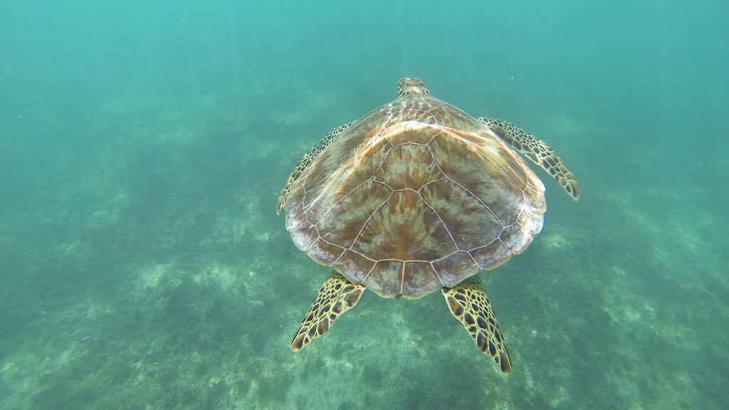 Turtles in Akumal, Mexico